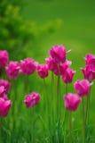 桃红色郁金香在庭院里 库存照片