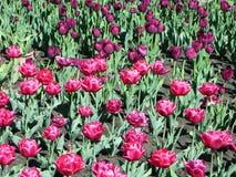 桃红色郁金香在庭院里 图库摄影