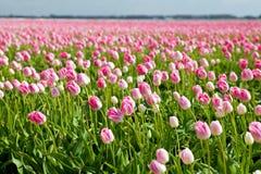 桃红色郁金香在春天,阿尔克马尔 库存图片