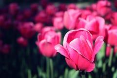 桃红色郁金香在花圃早晨降露与拷贝空间 免版税库存照片
