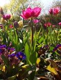 桃红色郁金香在花圃里 库存图片