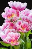 桃红色郁金香安排BB105878-2 库存图片
