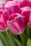 桃红色郁金香庭院照片艺术 库存图片