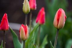 桃红色郁金香开花与在边缘的水下落 库存照片