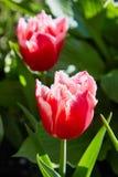 桃红色郁金香开花在庭院里的被装饰的郁金香 库存图片