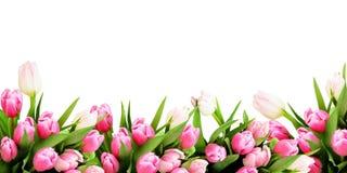 桃红色郁金香开花边界 库存照片