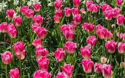 桃红色郁金香开花,自然花卉春天背景 图库摄影