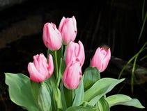 桃红色郁金香有黑暗的背景 库存图片