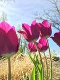 桃红色郁金香本质上 库存图片