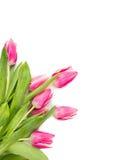 桃红色郁金香束起在白色背景的花卉壁角边界 免版税库存图片