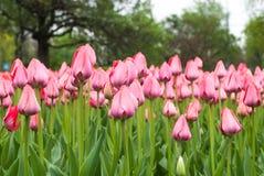 桃红色郁金香特写镜头在桃红色郁金香的领域的 免版税库存图片