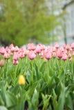 桃红色郁金香特写镜头在桃红色郁金香的领域的 图库摄影