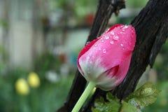 桃红色郁金香特写镜头在庭院里 免版税库存照片