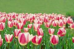 桃红色郁金香白色 库存图片