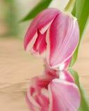 桃红色郁金香的特写镜头与反射的 免版税库存照片