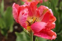 桃红色郁金香的特写镜头,杏子鹦鹉品种 免版税图库摄影