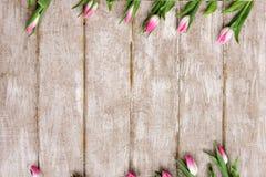 桃红色郁金香的装饰品 背景花光playnig 免版税库存照片