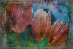 桃红色郁金香花关闭构造 库存图片