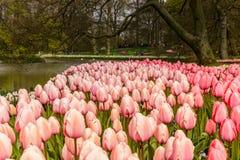 桃红色郁金香花床作为前景的在Keukenhof的公园 免版税库存照片