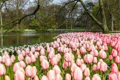 桃红色郁金香花床作为前景的在Keukenhof的公园 免版税库存图片