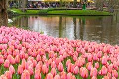 桃红色郁金香花床作为前景的在Keukenhof的公园 免版税图库摄影