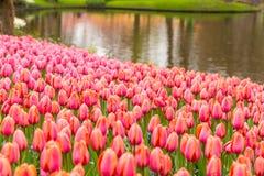 桃红色郁金香花床在水附近的在Keukenhof的公园 免版税库存照片