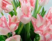 桃红色郁金香花束在白色背景的 免版税库存照片