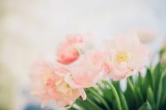 桃红色郁金香花束在轻的背景的 背景蒲公英充分的草甸春天黄色 免版税图库摄影