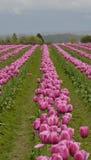 桃红色郁金香行在一个领域的在Skagit谷 免版税库存图片