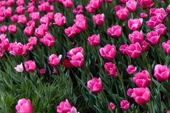 桃红色郁金香-与许多的照片花 库存照片