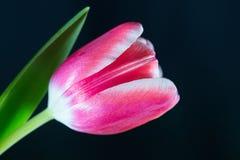 桃红色郁金香-黑背景 库存图片