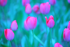 桃红色郁金香细节 库存图片