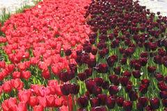 桃红色郁金香 黑和桃红色郁金香 t不同的纹理  免版税图库摄影