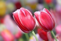 桃红色郁金香 库存照片