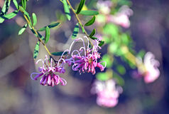 桃红色醉蝶花属, Grevillea sericea 免版税库存照片