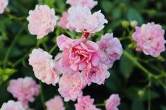桃红色野生玫瑰 免版税库存图片