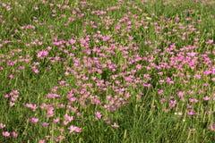 桃红色野花的领域 库存图片