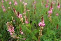 桃红色野花驴喜豆在夏天草甸,欧洲 库存图片