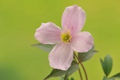 桃红色铁线莲属花。宏指令 免版税库存照片