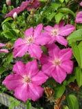 桃红色铁线莲属花在6月 免版税库存图片