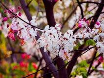 桃红色阵雨树 库存照片