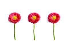 桃红色雏菊三朵花在白色背景的 免版税库存照片