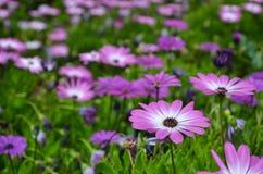 桃红色雏菊在焦点 免版税库存图片