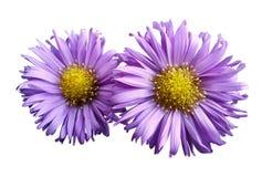 桃红色雏菊花在白色的隔绝了背景 设计的两棵春黄菊 在视图之上 特写镜头 免版税库存图片