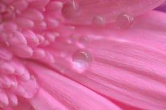 桃红色雏菊花宏观纹理与水滴的 免版税库存照片