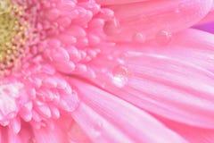桃红色雏菊花宏观纹理与水滴的 图库摄影