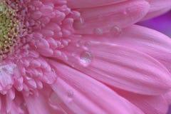 桃红色雏菊花宏观纹理与水滴的 库存图片
