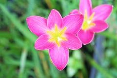 桃红色雨百合在庭院里 库存照片