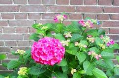 桃红色霍滕西亚开花老砖墙,荷兰 免版税库存照片