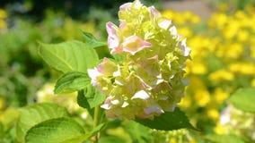 桃红色霍滕西亚花在庭院里 股票录像